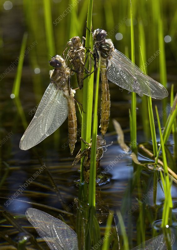Newly-emerged dragonflies