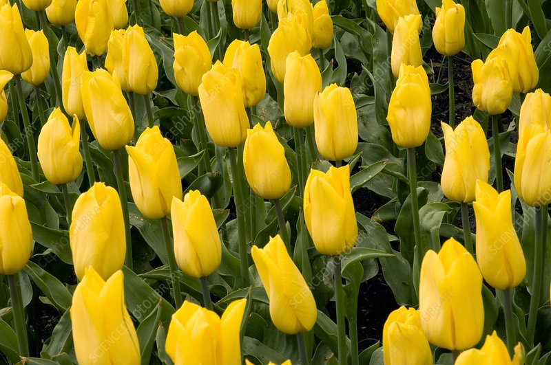 Tulips (Tulipa 'Strong Gold')