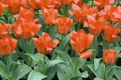 Tulips (Tulipa greigii 'Grower's Pride')