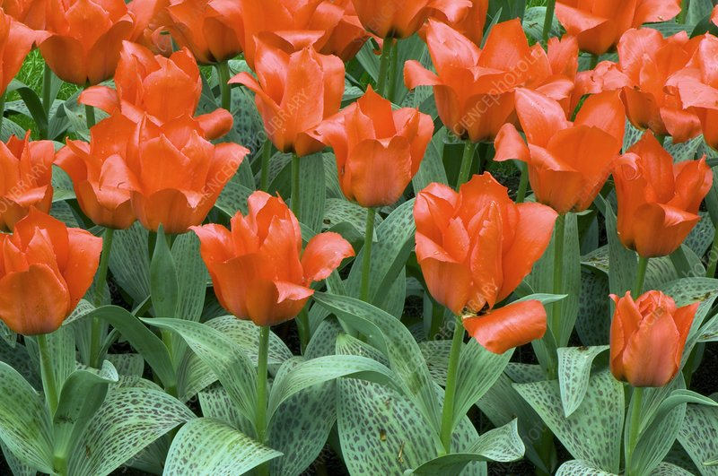 Tulips (Tulipa greigii 'Grower's Pride')