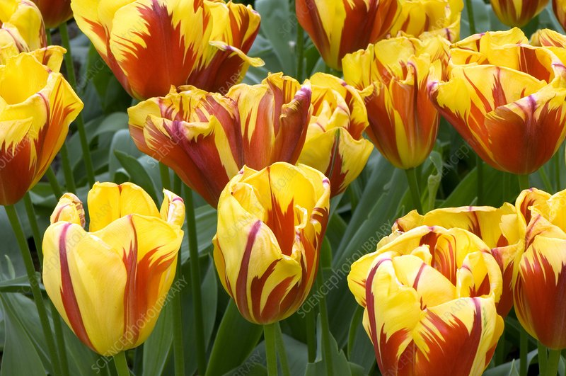 Tulips (Tulipa 'Holland Queen')