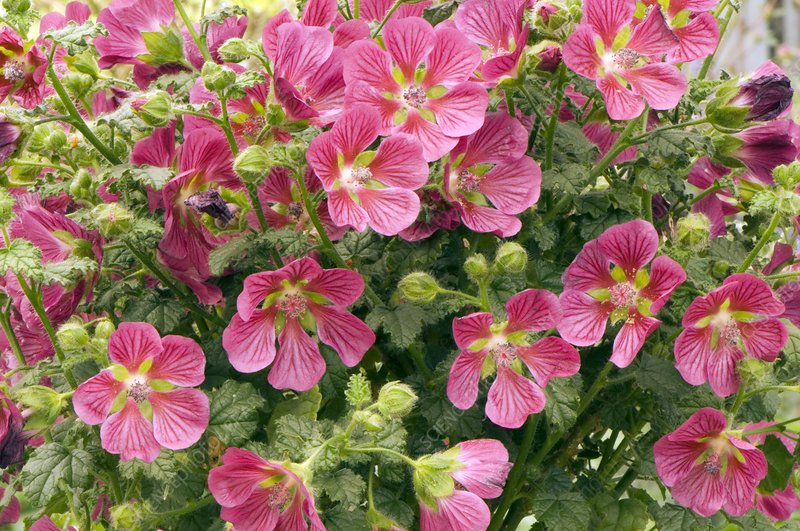 Cape Mallow (Anisodontea donatella)