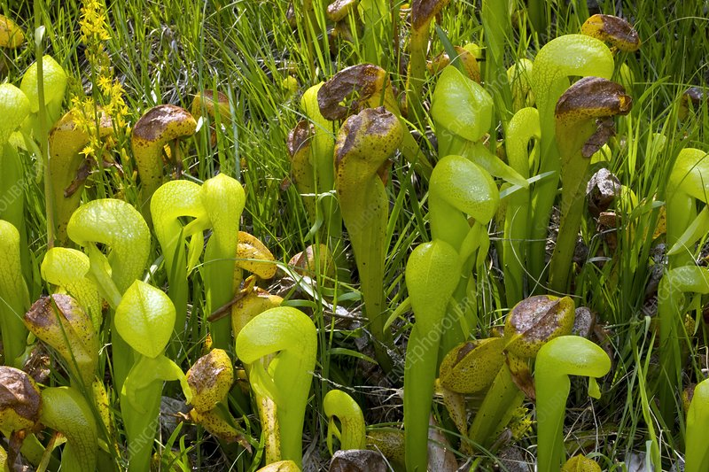 Cobra lilies (Darlingtonia californica)