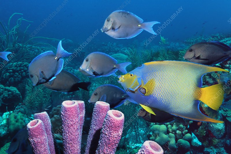 Queen angelfish and blue tangs
