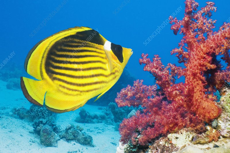 Red Sea racoon butterflyfish