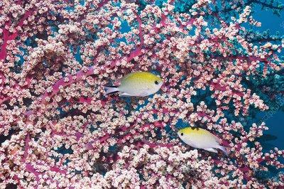 Yellow-axil chromis fish