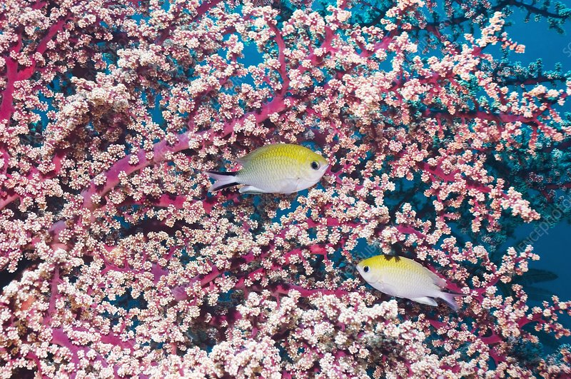 Yellow-axil chromis fish