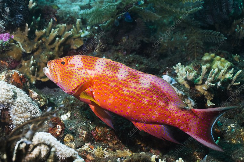 White-edged lyretail grouper