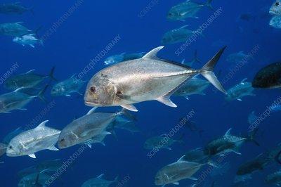 Giant trevally fish