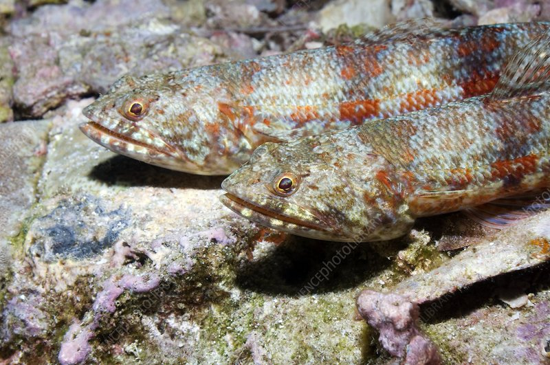 Variegated lizard fish