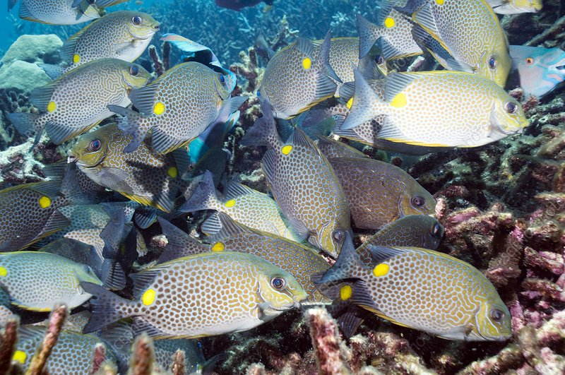 Orange-spotted spinefoot fish