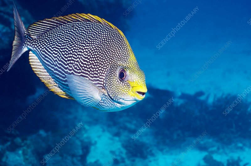 Streaked spinefoot fish