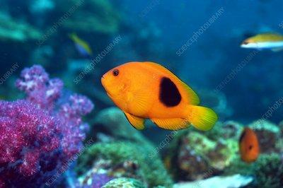 Red saddleback anemonefish and soft coral