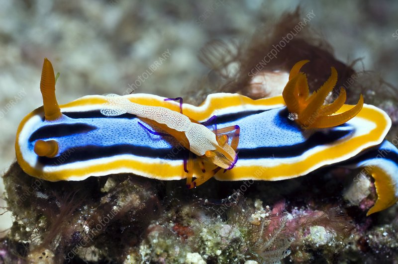 Nudibranch and emperor shrimp