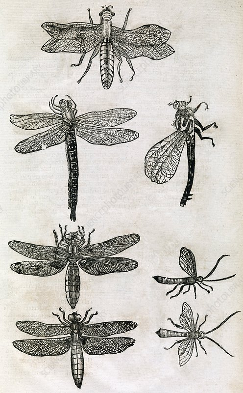 Dragonflies, 17th century artwork