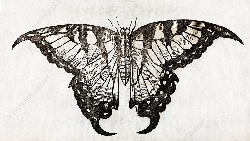 Butterfly, 17th century artwork