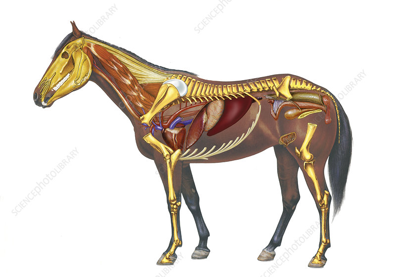 'horse anatomy, drawing'