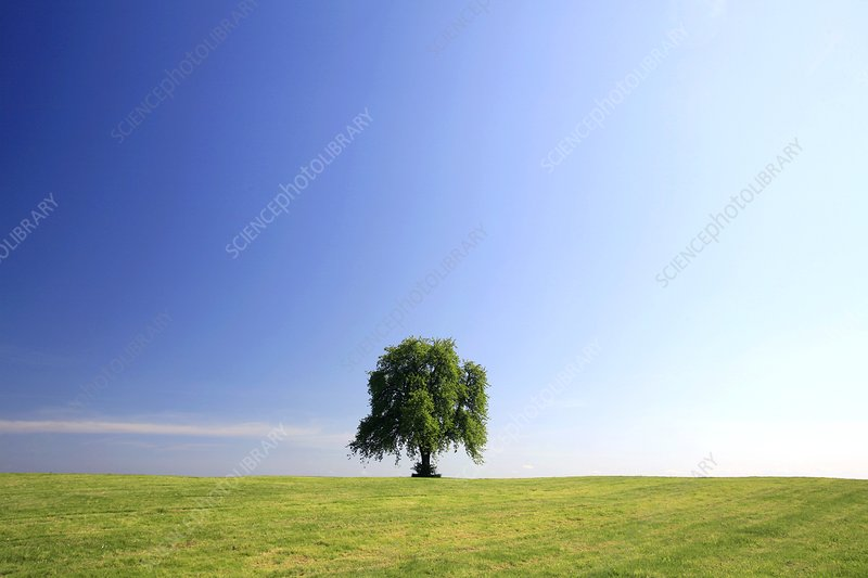 Lone tree in flower on a hill