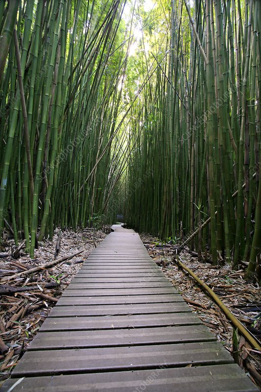Bamboo forest, Hawaii