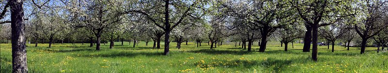 Flowering apple orchard