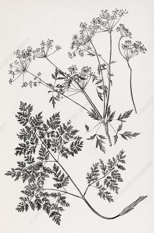 Hemlock, 19th century artwork