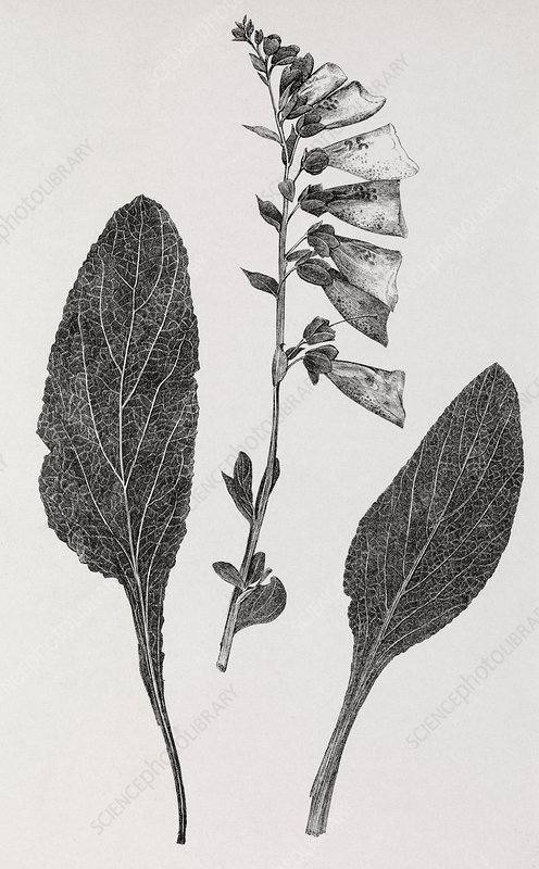 Foxglove, 19th century artwork