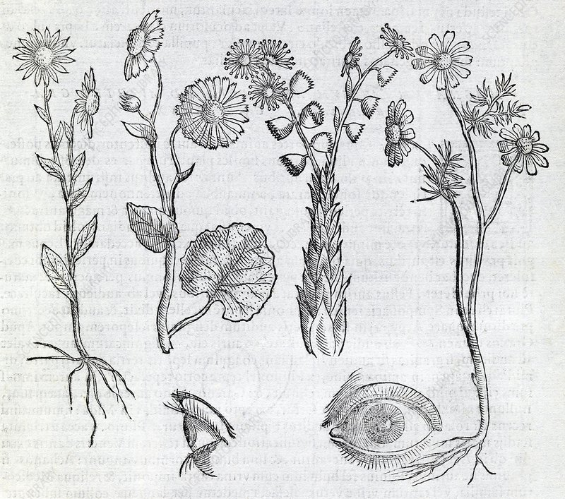 Ocular plants, 16th century artwork