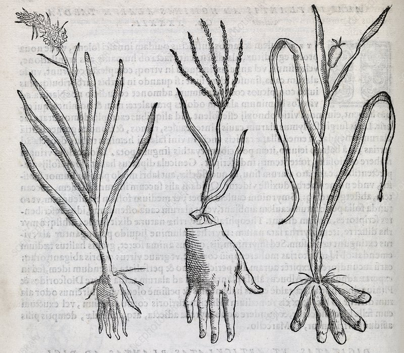 Digital plants, 16th century artwork