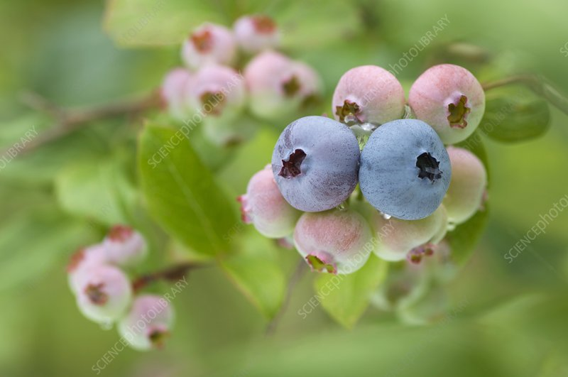 Blueberries (Vaccinium sp.)