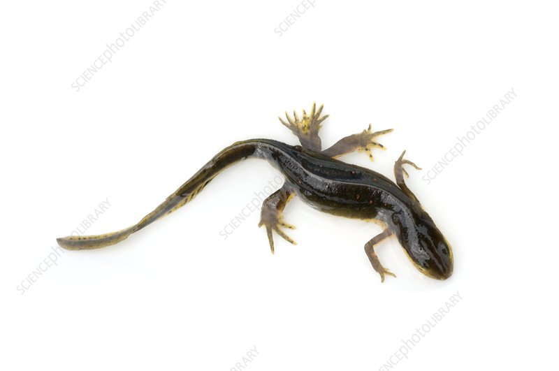 Mutated eastern newt