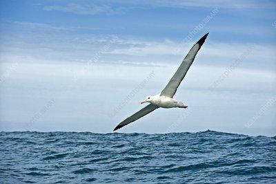 Gibson's wandering albatross in flight