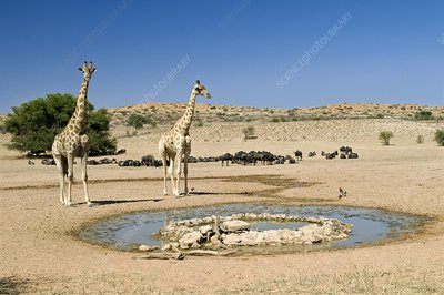 Giraffes at a watering hole
