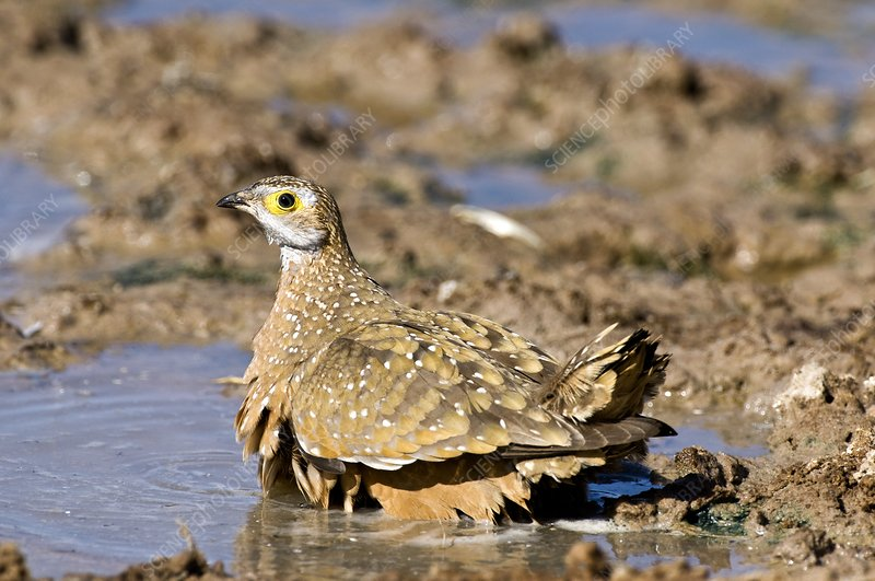 Burchell's sandgrouse in a watering hole