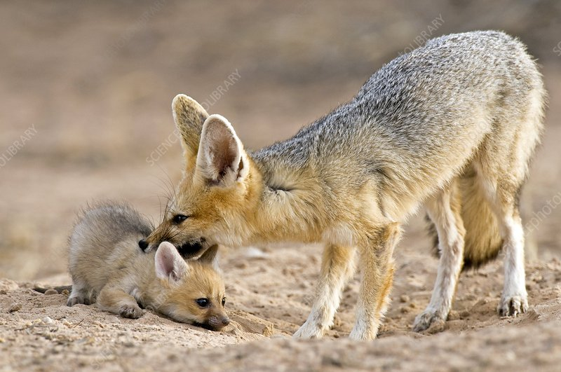Cape fox mother and young