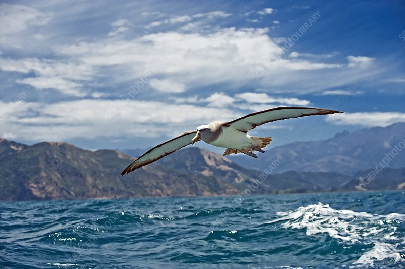Salvin's albatross in flight