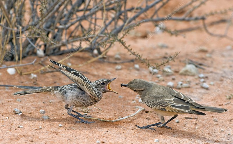 Chat flycatcher feeding its chick