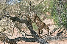 Cheetah climbing off a tree