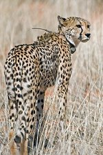 Cheetah with a radio collar