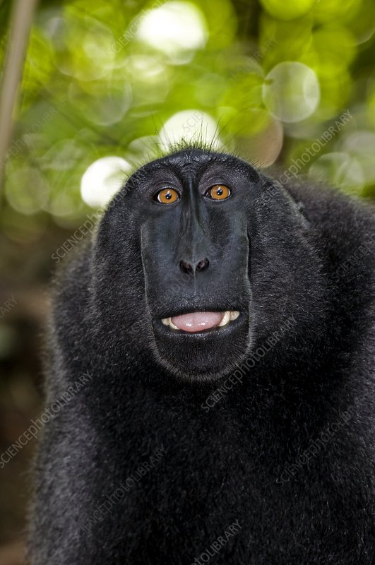 Crested black macaque lipsmacking