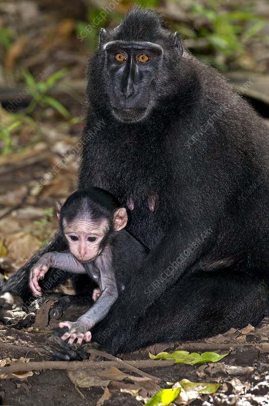 Crested black macaque and baby