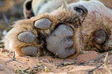 African lion paw