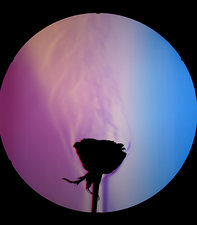 Schlieren Image of a Rose's Aroma