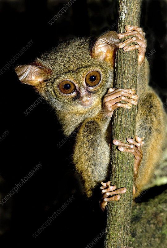 Spectral tarsier in a tree