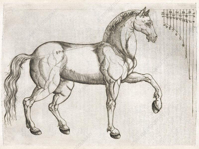 Horse anatomy, 16th century artwork