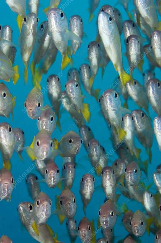 School of snappers