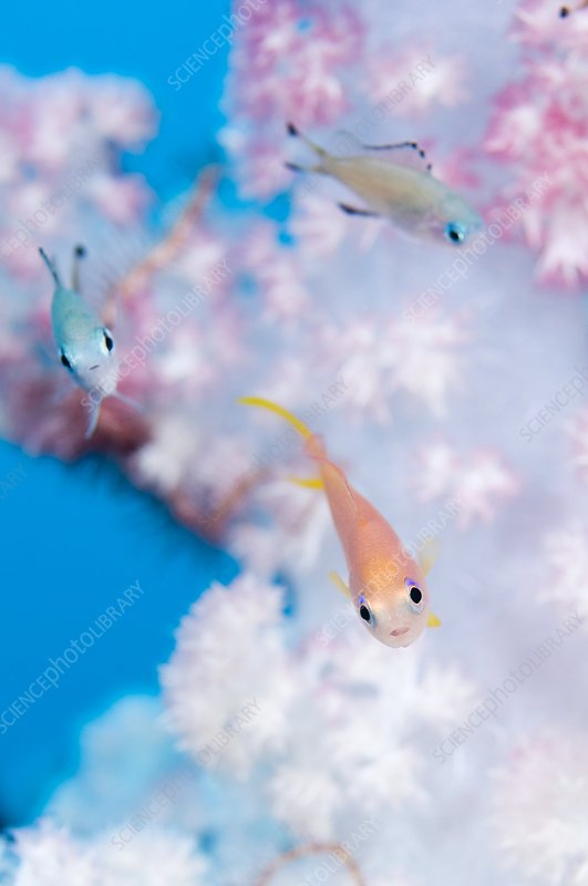 Anthias in soft coral
