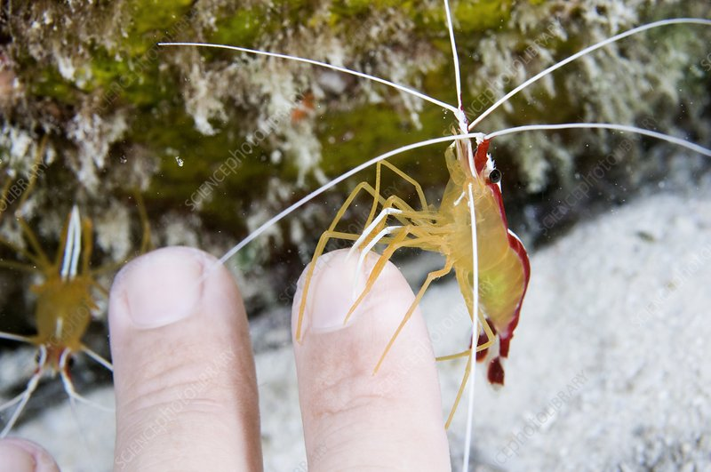 Cleaner shrimp cleaning a diver's fingers