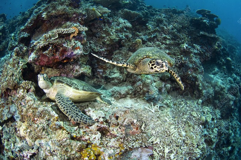 Green and hawksbill turtles