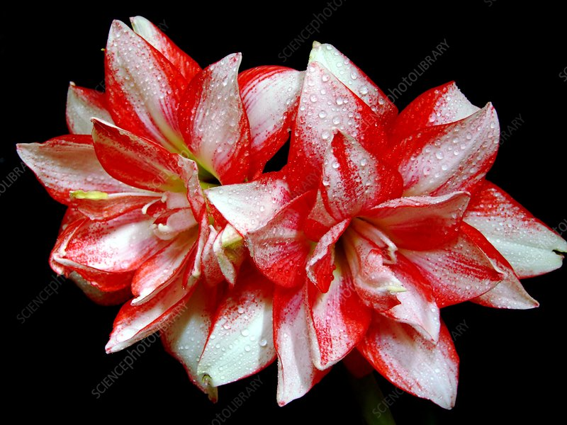 Amaryllis 'Exotic Peacock'