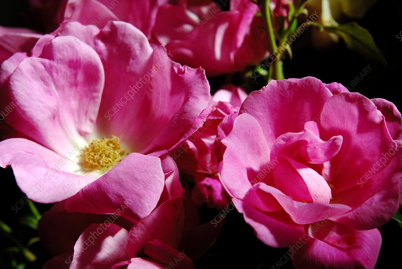 Rose (Rosa 'Pink Knockout')